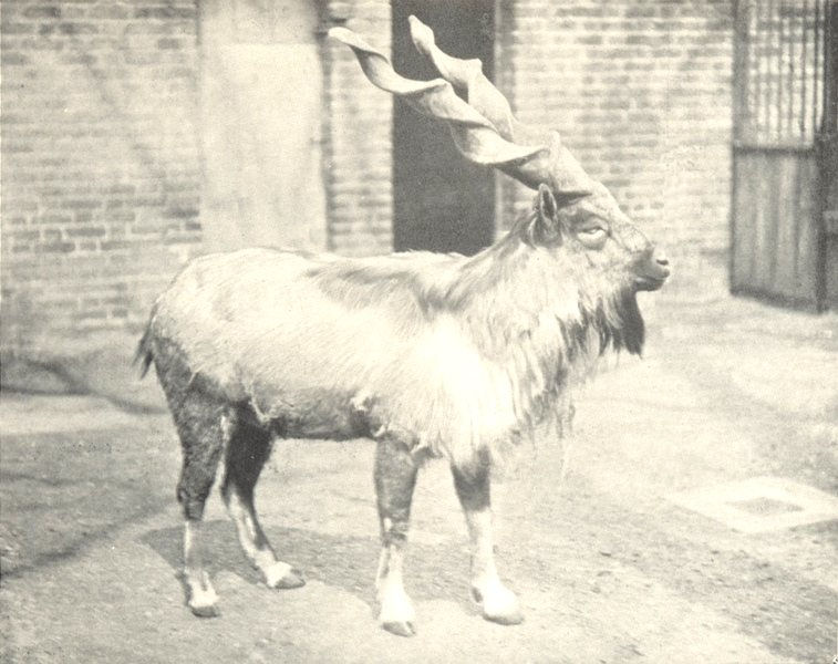 Associate Product GOATS. Markhor (Copra falconeri) with Gimlet-shaped Horns 1912 old print