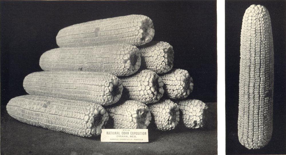 Associate Product MAIZE. Best Ears White Dent Corn Natl. Expo, Omaha, Nebraska, 1908 1912 print