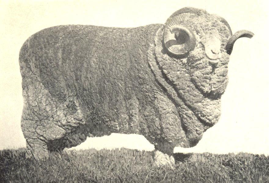 "Associate Product SHEEP. Australian Merino Ram-""Donald Dinnie"" 1200 Guineas 1912 old print"