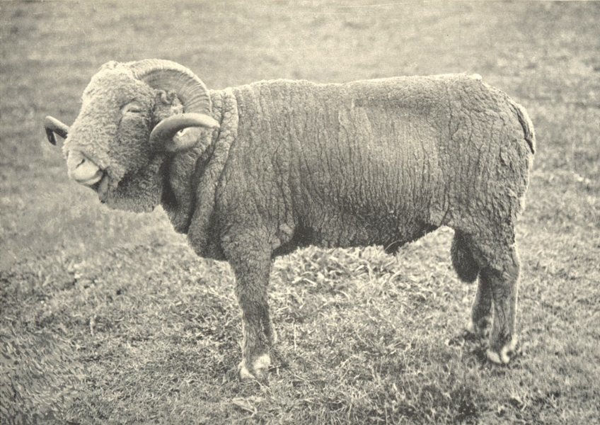 Associate Product SHEEP. French Rambouillet Ram (Shorn) 1912 old antique vintage print picture