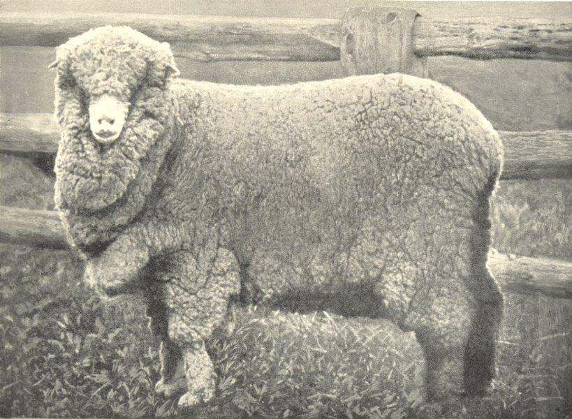 Associate Product SHEEP. Australian Merino Ewe Stud Ewes, Hartwood, Riverina, N. S. W. 1912