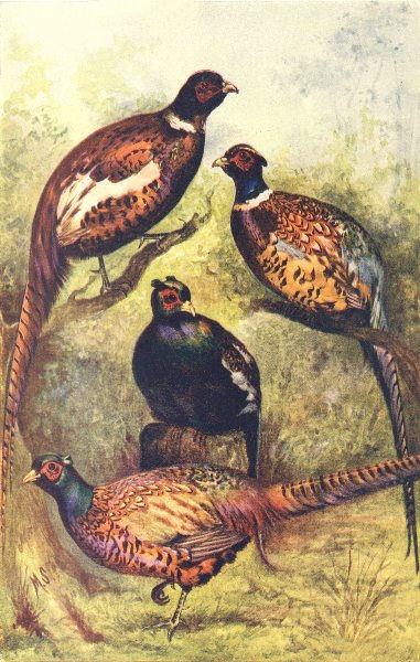 Associate Product BIRDS. Pheasants; Phasianus mongolicus. versicolor. colchicus. torquatus 1912