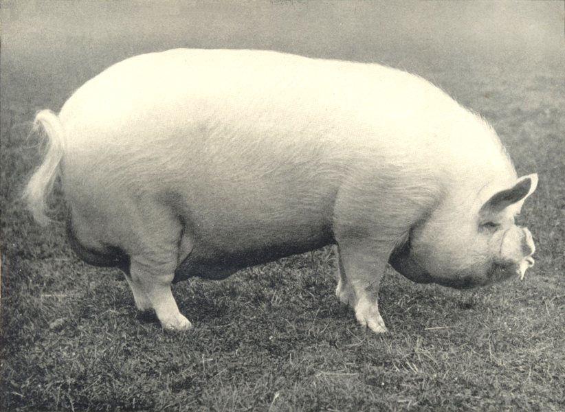 "Associate Product MIDDLE WHITE BOAR. ""Walton Turret 7th. ~ RASE show prizewinner 1905 1912 print"