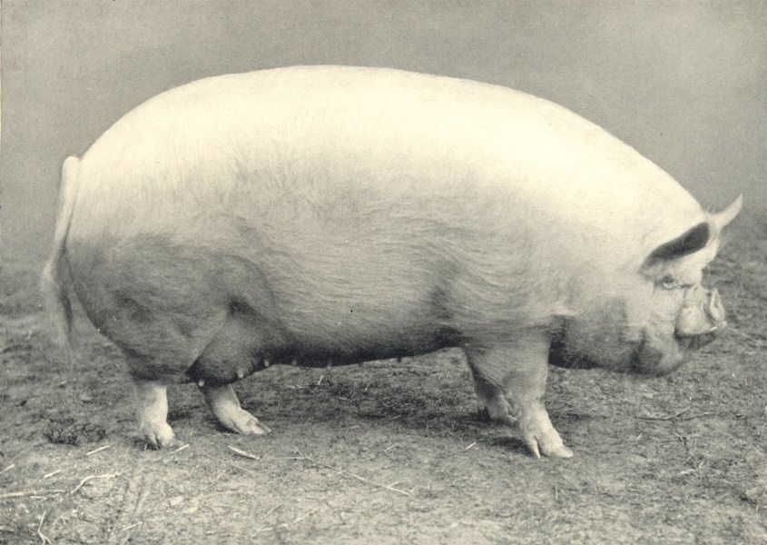 """Associate Product MIDDLE WHITE SOW.""""Walton Rose 39th.~ winner prize champion,RASE.show,1907 1912"""