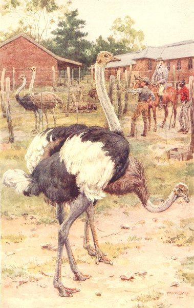 FARMING. A South African Ostrich Farm 1912 old antique vintage print picture