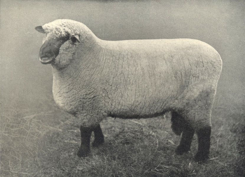Associate Product SHEEP. Oxford Down Ram first and champions, Oxford county show, 1909 1912