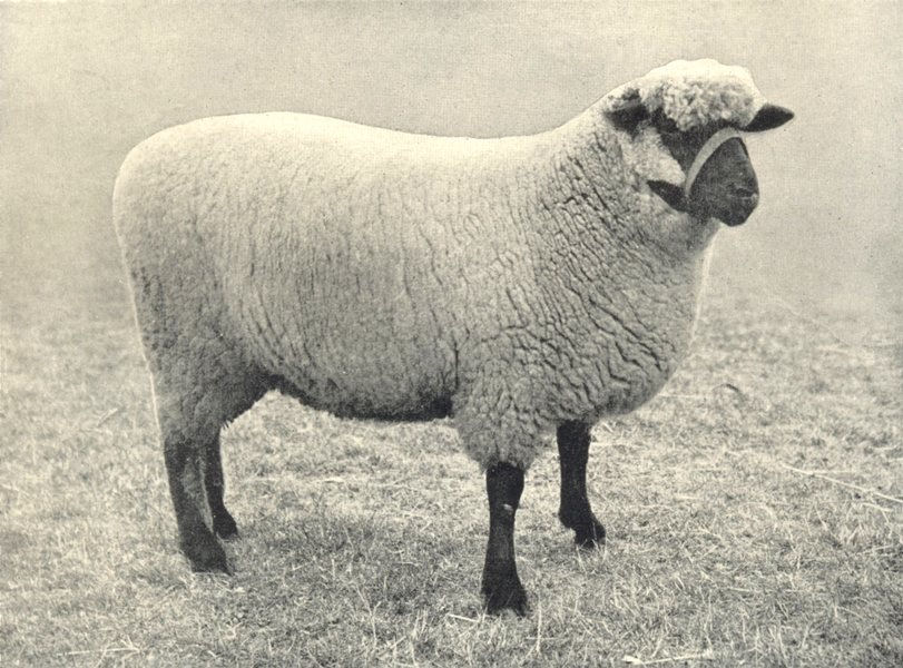 Associate Product SHEEP. Oxford Down Ewe best Ewe in first prize pen, RASE. show, 1908 1912