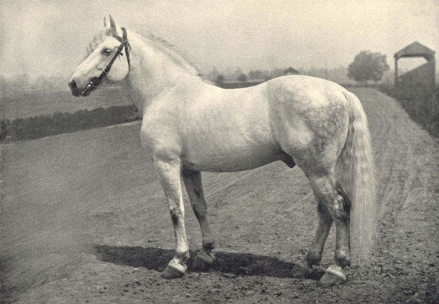 "Associate Product HORSES. Percheron Stallion-""Thor"". American Bred 1912 old antique print"