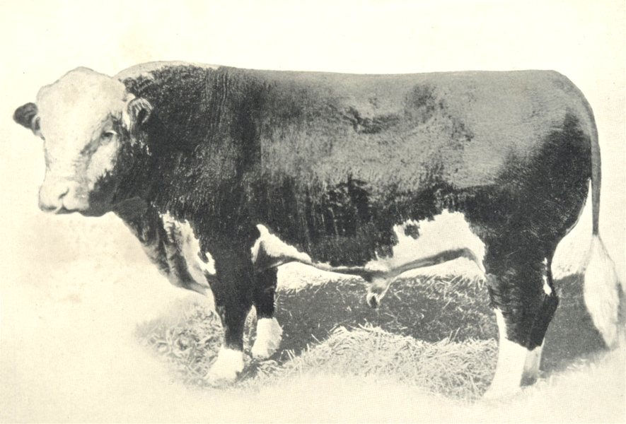 """Associate Product CATTLE.Double Standard Polled Hereford Bull """"Polled King"""".(American bred) 1912"""