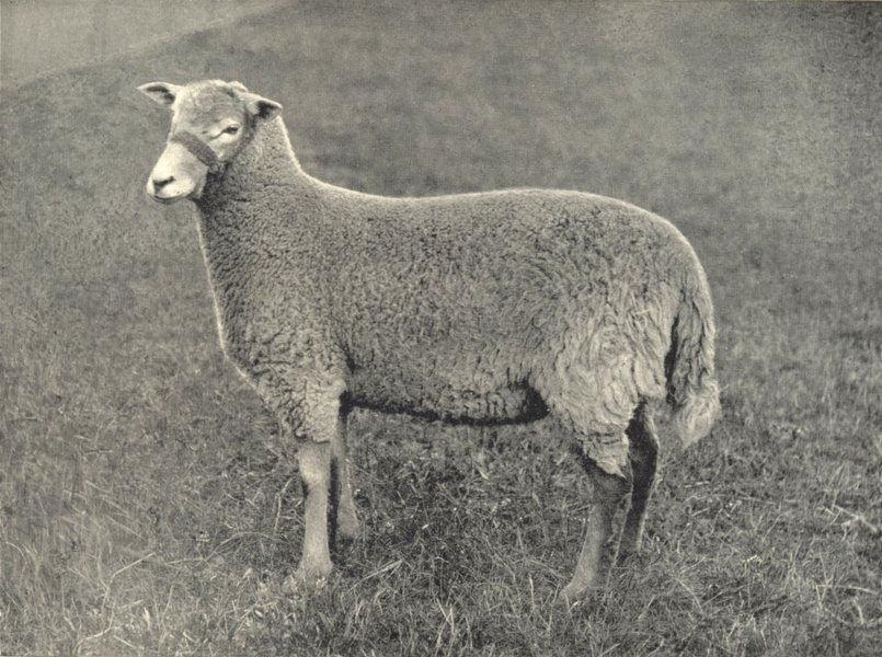 SHEEP. Radnor Ewe 1912 old antique vintage print picture