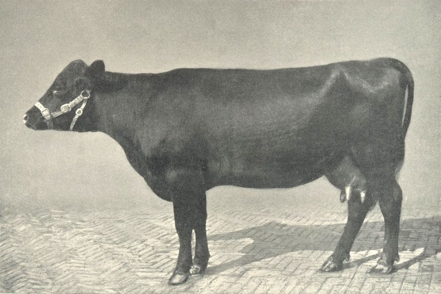 """Associate Product RED POLLED COW. """"Acton Fill Pail"""" RASE show prizewinner, 1910 1912 old print"""