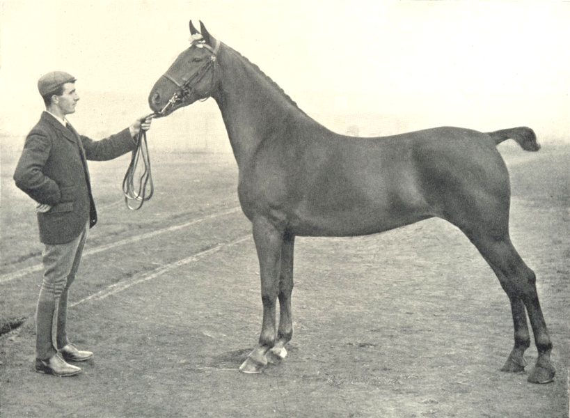 """Associate Product HORSES. Roadster-""""Audacia"""" Champion at Glasgow show, 1897 1912 old print"""