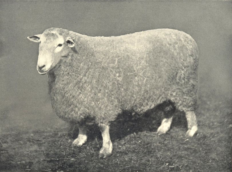 Associate Product SHEEP. Romney Marsh Ram first and Champion, RASE. show, 1909 1912 old print