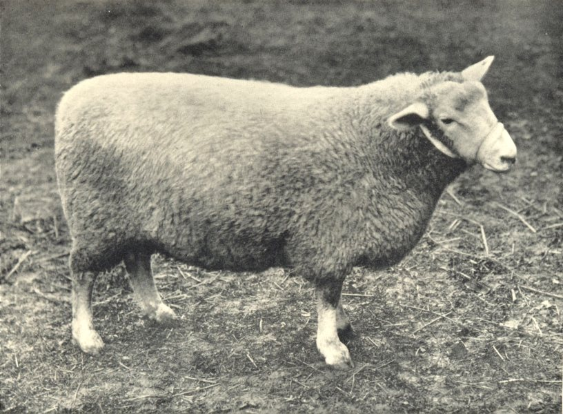 Associate Product SHEEP. Romney Marsh Ewe winner of first prize at the RASE. show, 1909 1912