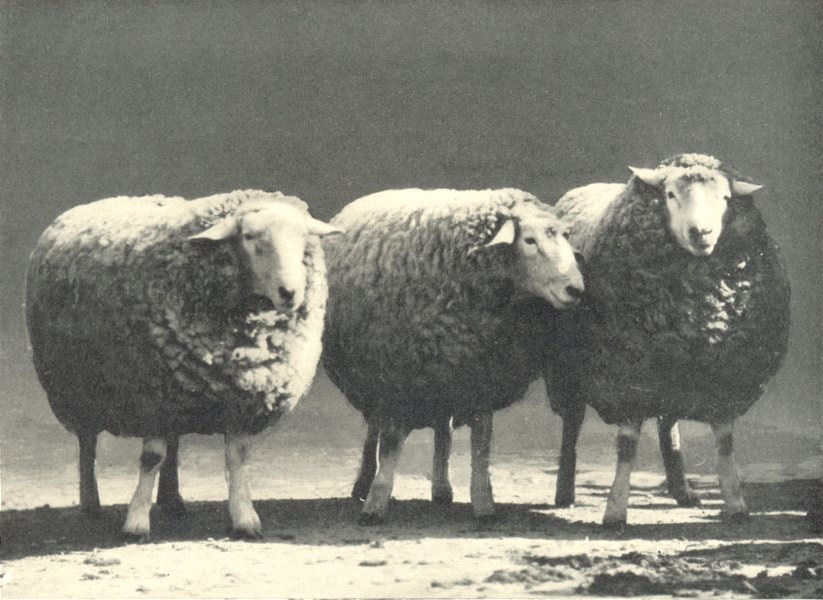 Associate Product SHEEP.Roscommon Rams prize challenge cup,Royal Dublin Society's show,1906 1912