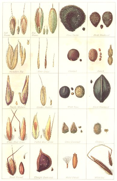 Associate Product FARMING. Seeds. Impurities & Adulterants – I; in Grass; Grain Crops 1912 print