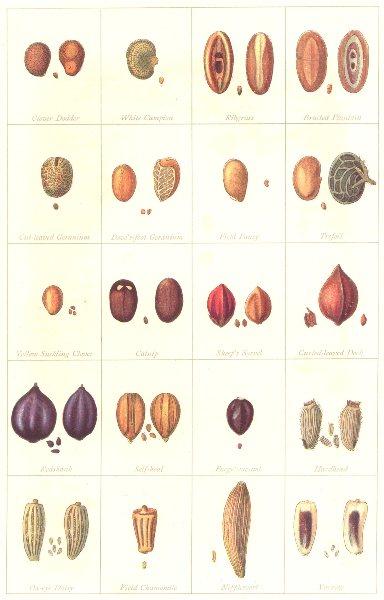 Associate Product FARMING. Seeds. Impurities & Adulterants – II; in Clover 1912 old print