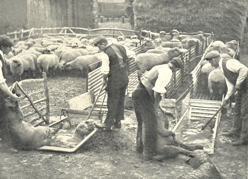 Associate Product FARMING. Sheep Dipping (By courtesy William Cooper Nephews, Berkhamsted) 1912