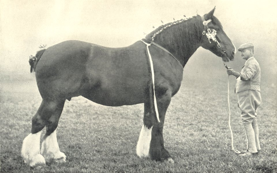 """Associate Product HORSES. Shire Mare-""""Queen of the Shires"""" Champion at the RASE. show, 1903 1912"""