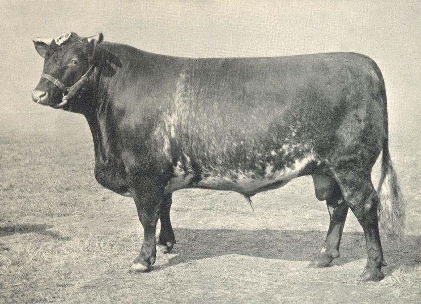 """Associate Product CATTLE. Shorthorn Bull """"Duke Of Kingston 2nd"""" Champion, RASE show 1910 1912"""