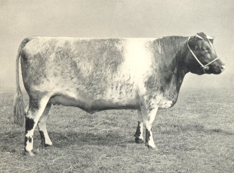 """Associate Product CATTLE. Shorthorn Heifer Sherborne Fairy"""" first & Champion, RASE show 1910 1912"""