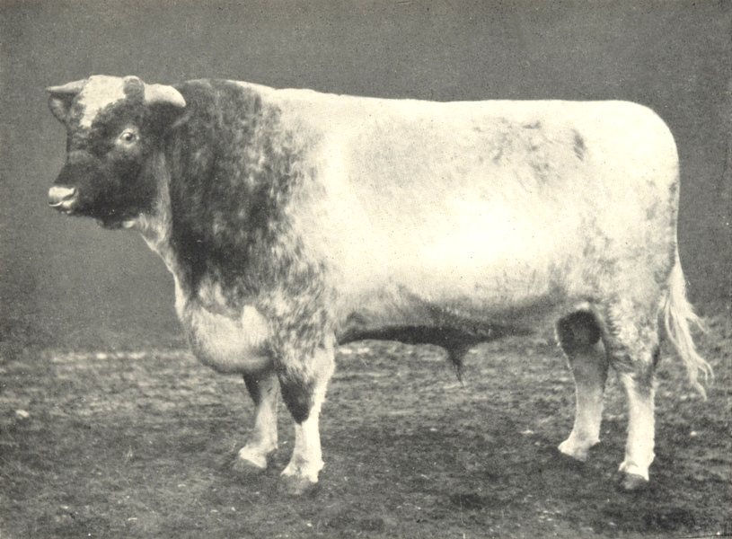 """Associate Product CATTLE. Shorthorn Bull """"Linksfield Champion"""" Champion at RASE show 1907 1912"""