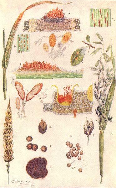 Associate Product PLANTS. Parasitic Fungi on Grain Crops; Wheat rust Uredongus 1912 old print
