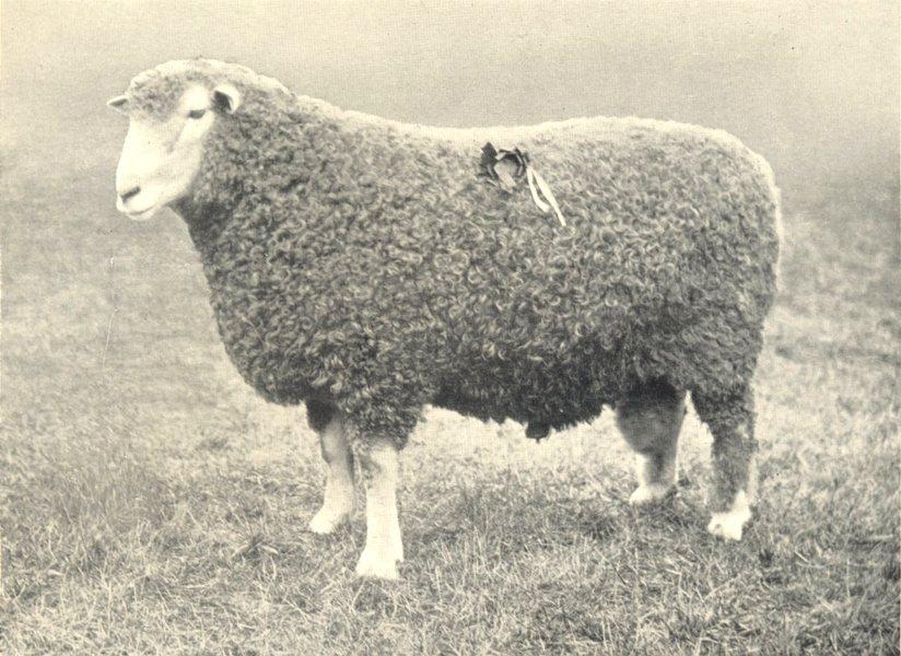 Associate Product SHEEP. South Devon Ram first prize winner, RASE. show, 1906 1912 old print