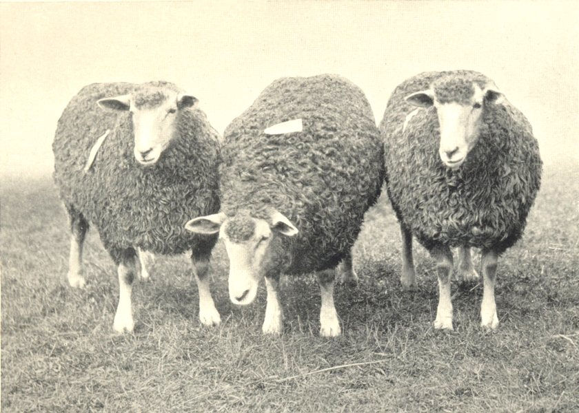 Associate Product SHEEP. South Devon Ewes first prize Pen, RASE. show, 1906 1912 old print