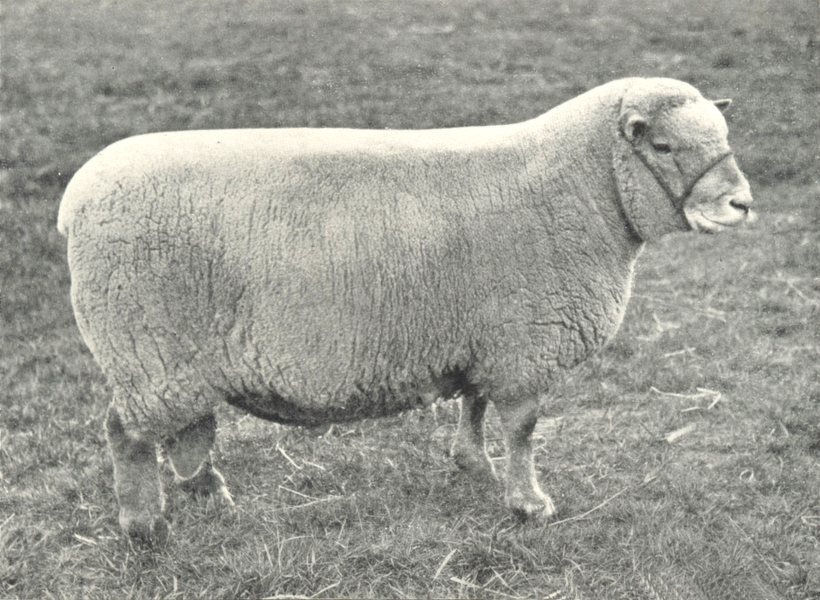 Associate Product SHEEP. Southdown Two-Shear Ram first at RASE. show, 1910 1912 old print