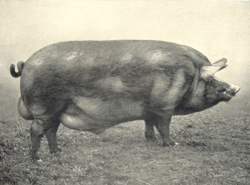 """Associate Product PIGS. Tamworth Boar-""""Ashley Abbot"""" first at RASE. show, 1910 1912 old print"""