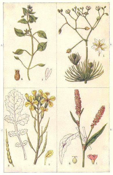 Associate Product ARABLE WEEDS. Chickweed; Spurrey; Wild Radish or Runch; Redshank 1912 print