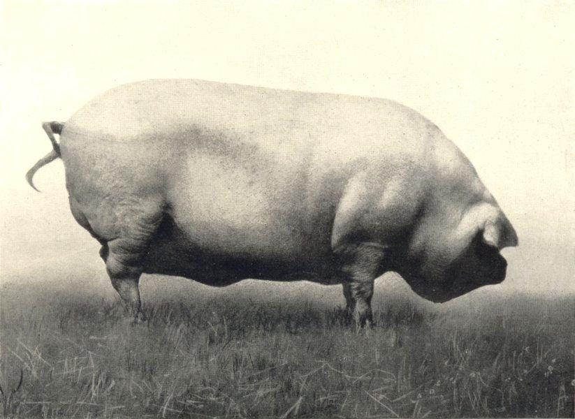 "Associate Product ULSTER LARGE WHITE BOAR. ""Beneran General"" Show prizewinner 1911 1912 print"