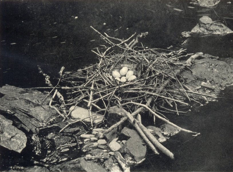 Associate Product BIRDS. Water Hen's Nest 1912 old antique vintage print picture