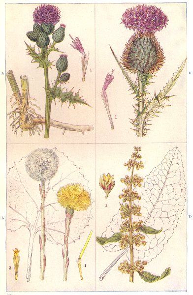 Associate Product COMMON ARABLE WEEDS. Creeping, Spear Thistle. Coltsfoot, Broad-leaved Dock 1912