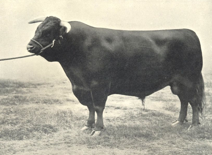 """CATTLE. Welsh Bull """"Wern Goalkeeper"""" first at RASE show 1910 1912 old print"""