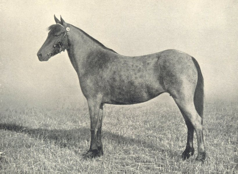 """Associate Product HORSES. Welsh Pony Mare-""""Mountain Marvel"""" first at RASE. show, 1910 1912 print"""