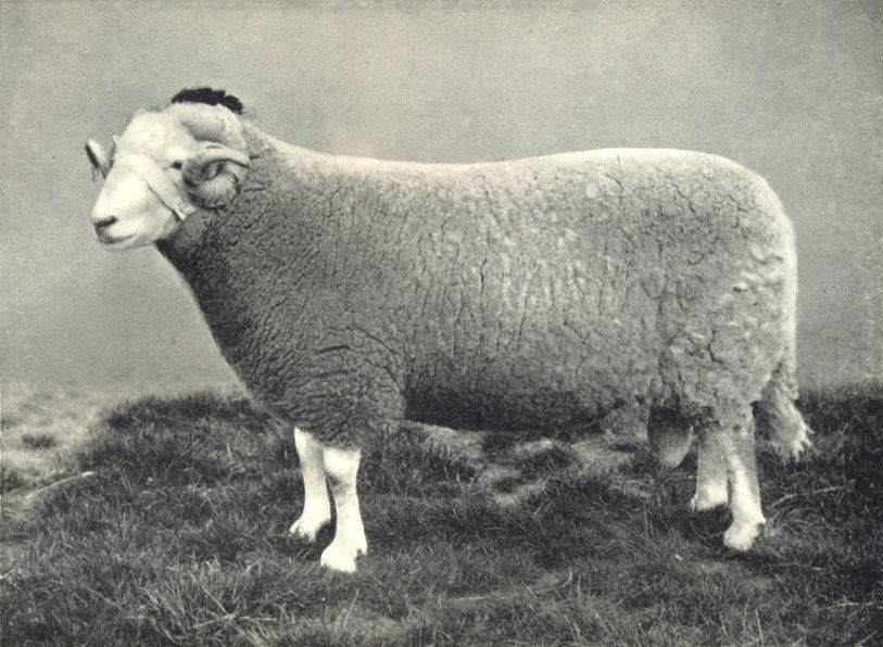 Associate Product SHEEP. Welsh Mountain Ram first at RASE. show, 1910 1912 old antique print