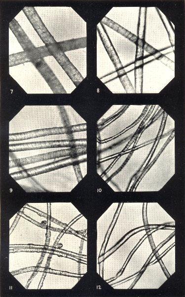 Associate Product WOOL FIBRES. China; New Zealand; Port Philip; S American; Cape Merino 1912