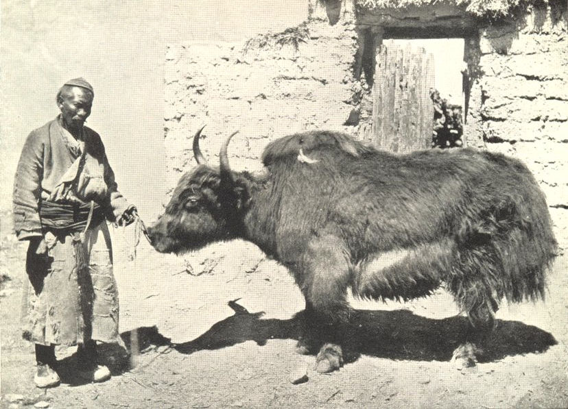 MAMMALS. Yak 1912 old antique vintage print picture