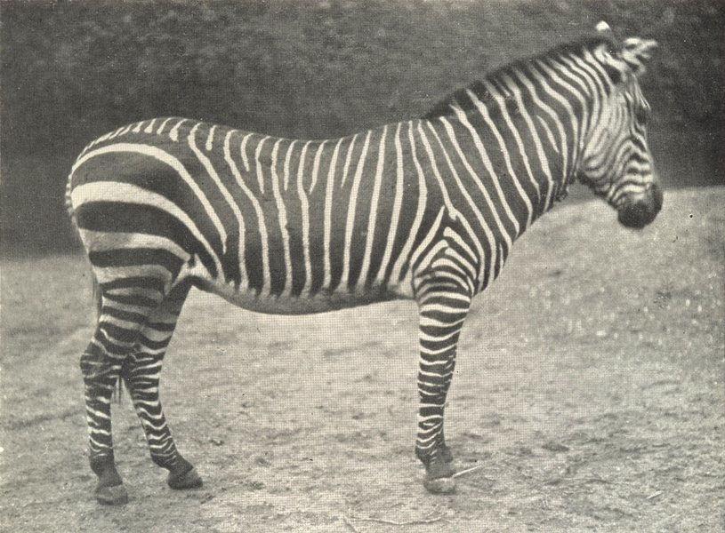 Associate Product ZEBRAS. Mountain Zebra 1912 old antique vintage print picture