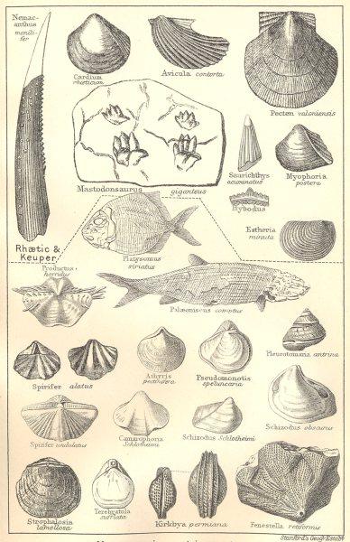 Associate Product BRITISH FOSSILS. Triassic & Permian Magnesian Limestone. Molluscs. STANFORD 1880