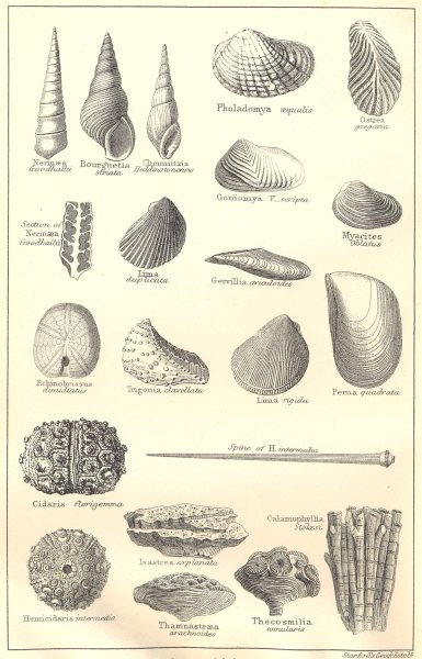 Associate Product BRITISH FOSSILS. Middle Oolitic Corallian. Molluscs. STANFORD 1880 old print