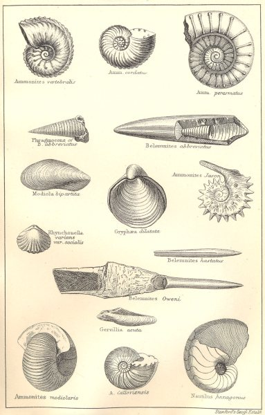 Associate Product BRITISH FOSSILS.Middle Oolitic Oxford Clay Kellaways Beds.Molluscs.STANFORD 1880