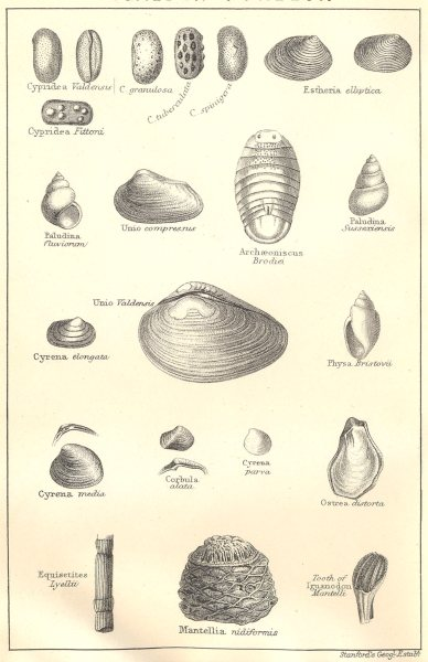 Associate Product BRITISH FOSSILS. Wealden – Purbeck. Molluscs. STANFORD 1880 old antique print