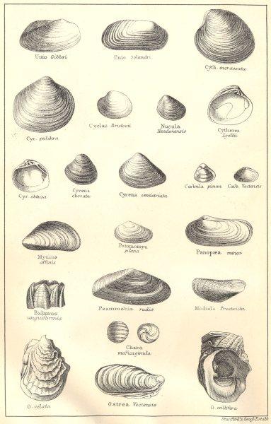 BRITISH FOSSILS. Oligocene. Molluscs. STANFORD 1880 old antique print picture