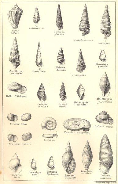 Associate Product BRITISH FOSSILS. Oligocene. Molluscs. STANFORD 1880 old antique print picture