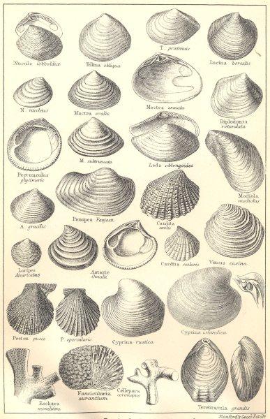 Associate Product BRITISH FOSSILS. Pliocene, Norwich, Red, Coralline Crag. Molluscs. STANFORD 1880
