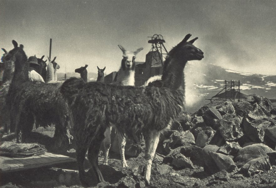 Associate Product CHILE. Collahuasi. Llamas que sirven Para el transporte de Ilareta. 1932 print