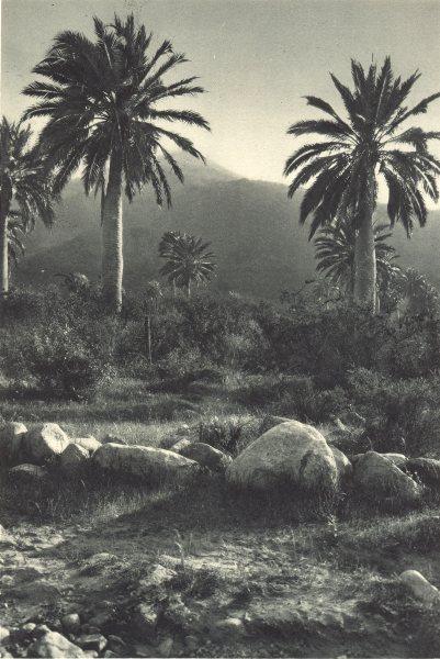 Associate Product CHILE. Ocoa. Palmera chilena – Jubaea spectabilis. Chilean Palm. 1932 print